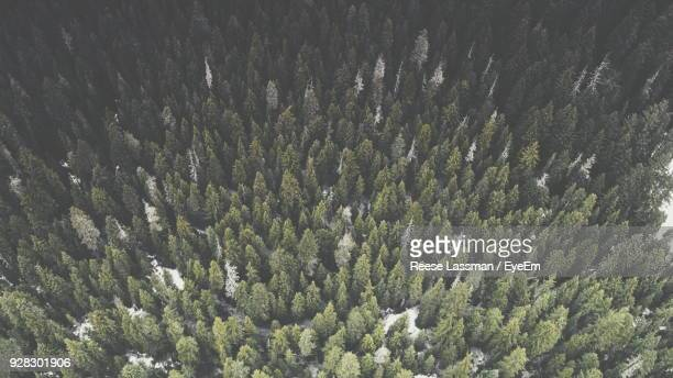 full frame shot of pine trees in forest - coniferous stock pictures, royalty-free photos & images