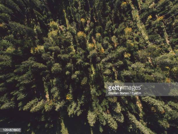 full frame shot of pine trees - bortes foto e immagini stock