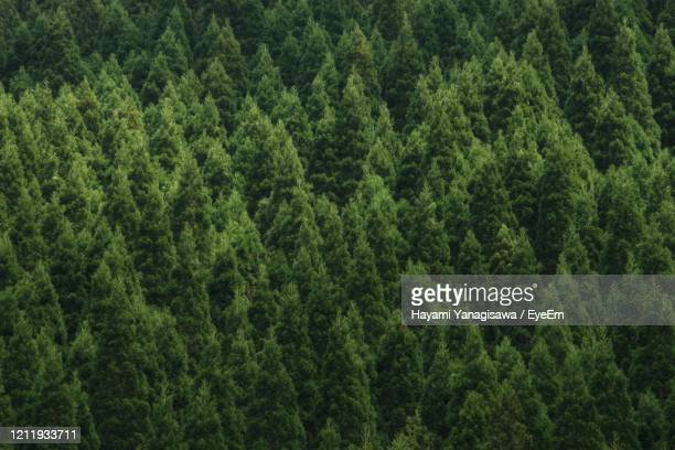 full frame shot of pine trees - treetop stock pictures, royalty-free photos & images