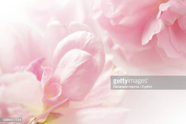 full frame shot of pink cherry blossom - pink flowers stock pictures, royalty-free photos & images