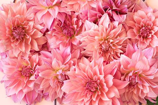 Full Frame Shot Of Pink Dahlia Flowers - gettyimageskorea