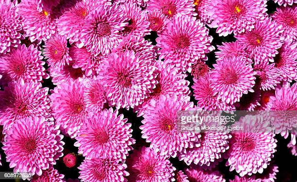 Full Frame Shot Of Pink Dahlias Blooming Outdoors