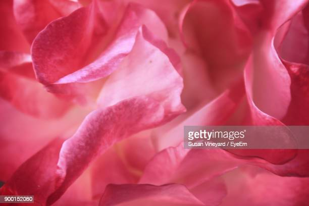 full frame shot of pink flower - tulsa stock pictures, royalty-free photos & images