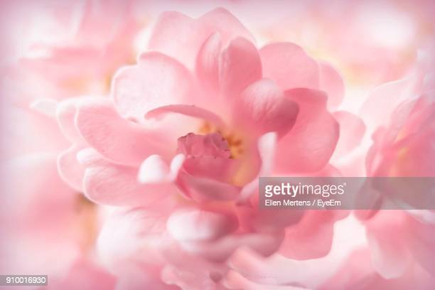 full frame shot of pink flower - mertens stock pictures, royalty-free photos & images