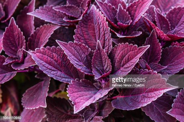 full frame shot of pink flowering plant leaves - maroon stock pictures, royalty-free photos & images