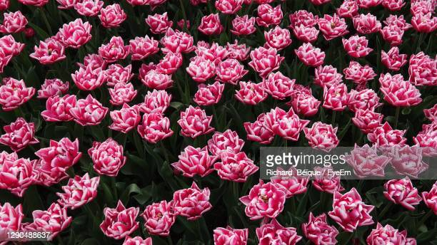 full frame shot of pink flowering plants - mulhouse stock pictures, royalty-free photos & images
