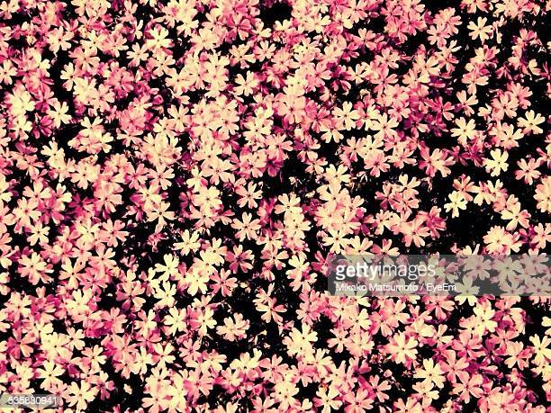 Full Frame Shot Of Pink Flowers Blooming On Field