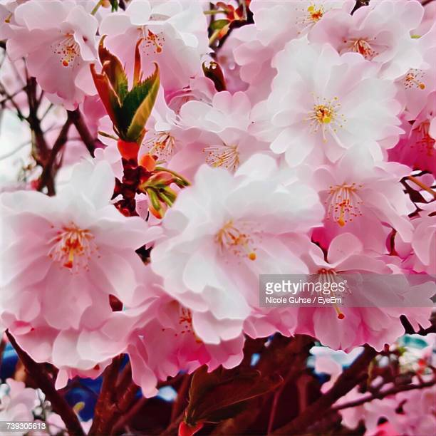 Full Frame Shot Of Pink Flowers On Tree