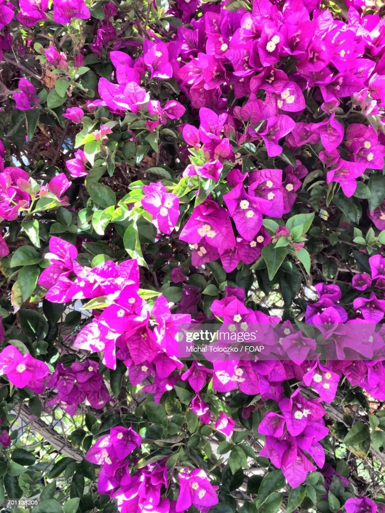 Full Frame Shot Of Pink Flowers Stock Photo Getty Images