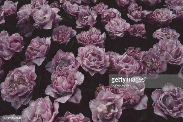 full frame shot of pink roses - bortes stockfoto's en -beelden