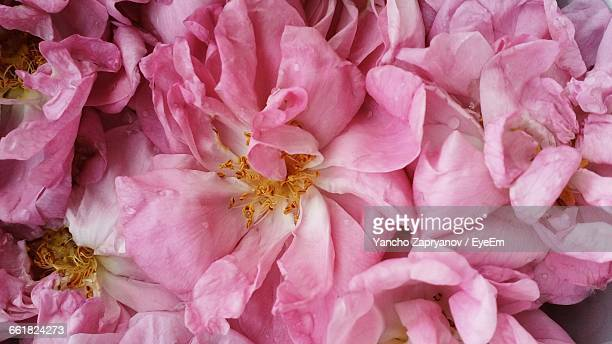 full frame shot of pink roses - bulgarie photos et images de collection