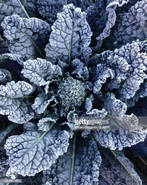 full frame shot of plant covered with snow - cabbage stock pictures, royalty-free photos & images