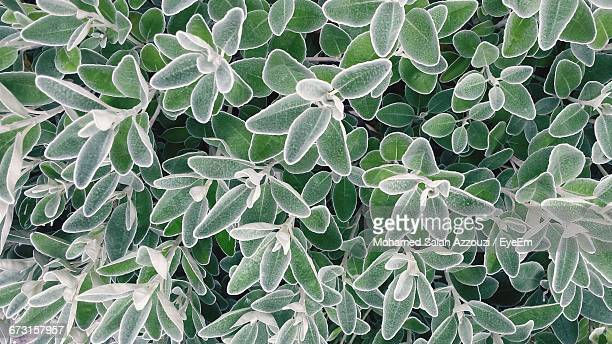 full frame shot of plants during winter - salah stock photos and pictures