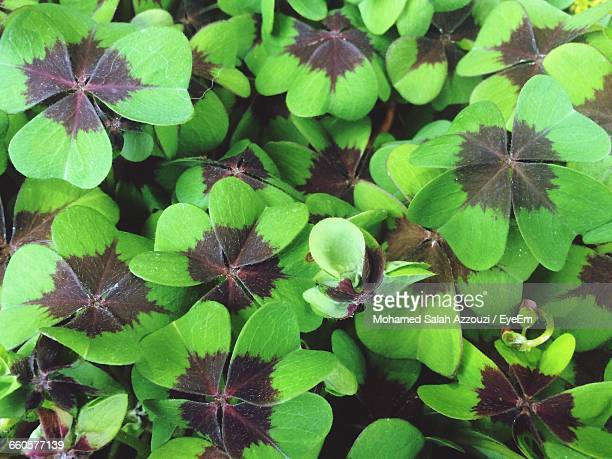 full frame shot of plants - salah stock photos and pictures