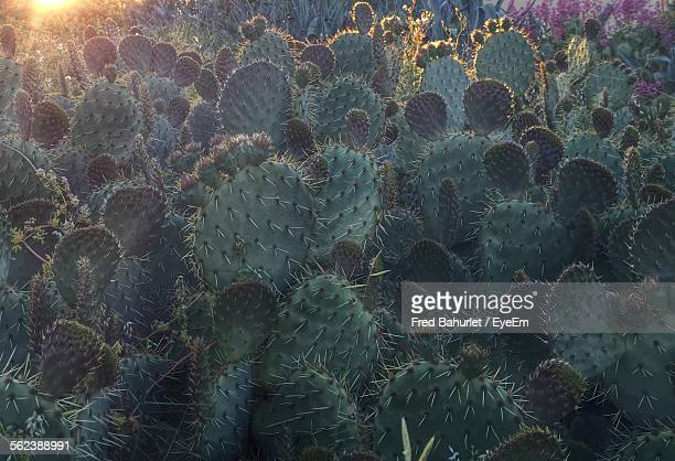 full frame shot of prickly pear cactus plants - prickly pear cactus stock photos and pictures