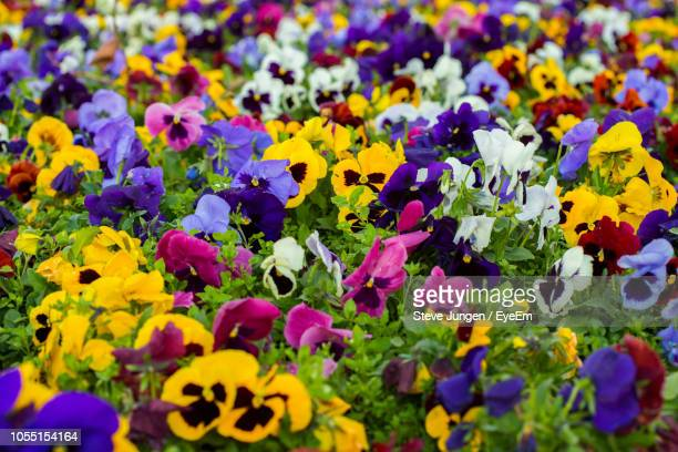 full frame shot of purple flowering plants - pansy stock pictures, royalty-free photos & images