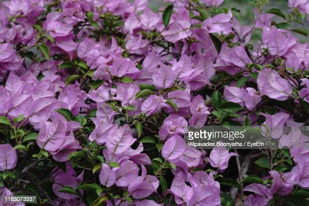 full frame shot of purple flowering plants - wipavadee stock photos and pictures