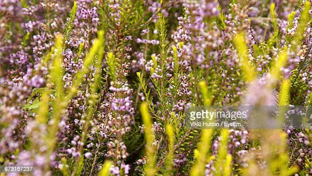 full frame shot of purple flowers blooming on field - hutton stock photos and pictures