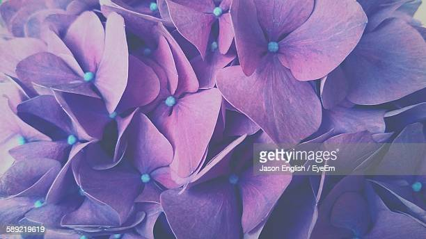 Full Frame Shot Of Purple Hydrangea Blooming Outdoors