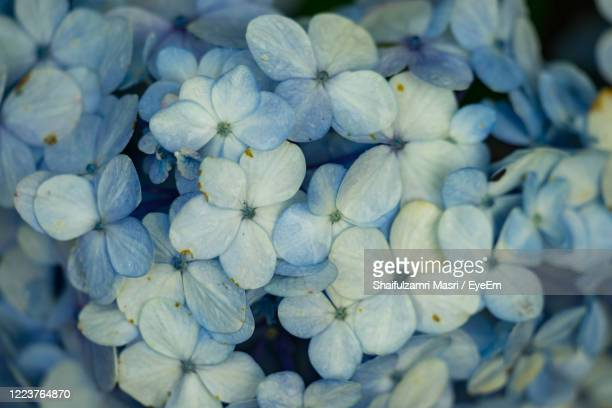 full frame shot of purple hydrangea flowers - shaifulzamri foto e immagini stock