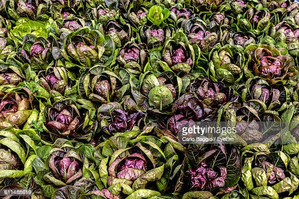 Full Frame Shot Of Radicchio Growing On Field