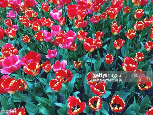 full frame shot of red flowers blooming outdoors - boris stock photos and pictures