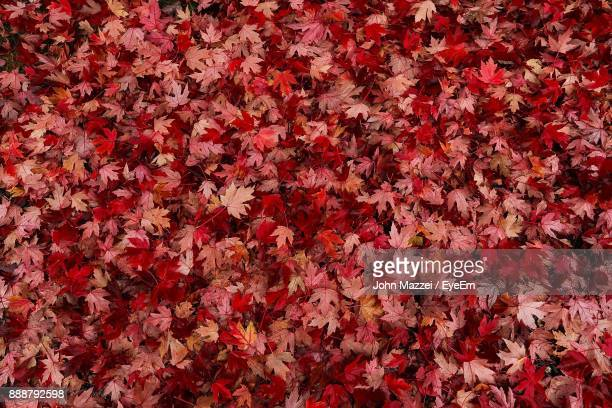 full frame shot of red flowers - autumn leaf stock pictures, royalty-free photos & images