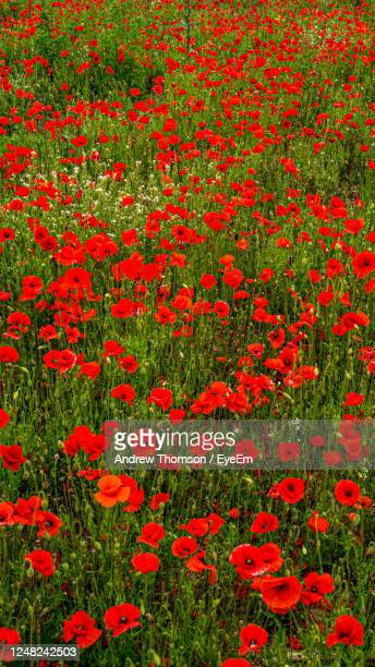 full frame shot of red poppy field flowering plants on field - 100th anniversary stock pictures, royalty-free photos & images