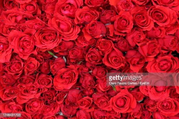 full frame shot of red roses. a bed of roses. - capital region stock pictures, royalty-free photos & images