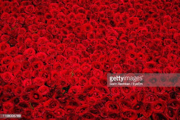full frame shot of red roses - rose stock pictures, royalty-free photos & images