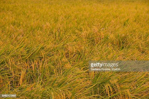 full frame shot of rice crops on field - uttar pradesh stock pictures, royalty-free photos & images