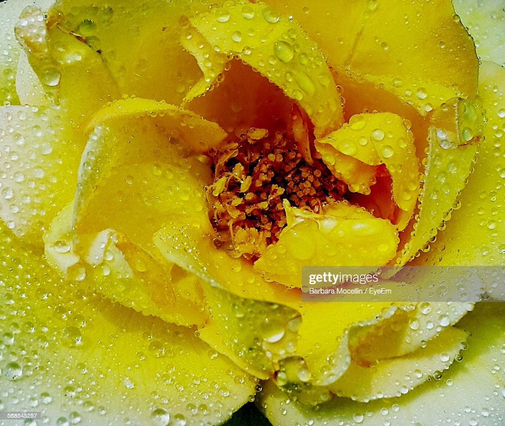 Full Frame Shot Of Rose With Water Drops : Stock Photo