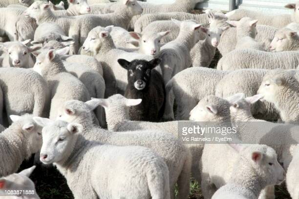 full frame shot of sheep standing at farm - individuality stock pictures, royalty-free photos & images