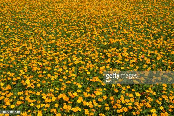 full frame shot of small orange, yellow flowers field, daisies spring flowers - large group of objects stock pictures, royalty-free photos & images