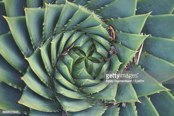 Full Frame Shot Of Spiral Aloe