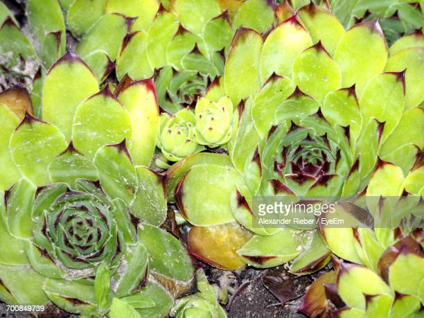 Full Frame Shot Of Succulent Plants Growing On Field
