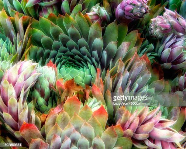 full frame shot of succulent plants,sebastopol,california,united states,usa - nature stock pictures, royalty-free photos & images
