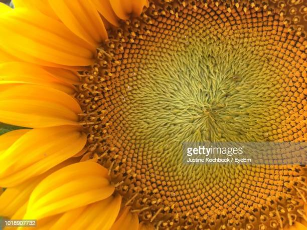 full frame shot of sunflower - girasoli foto e immagini stock