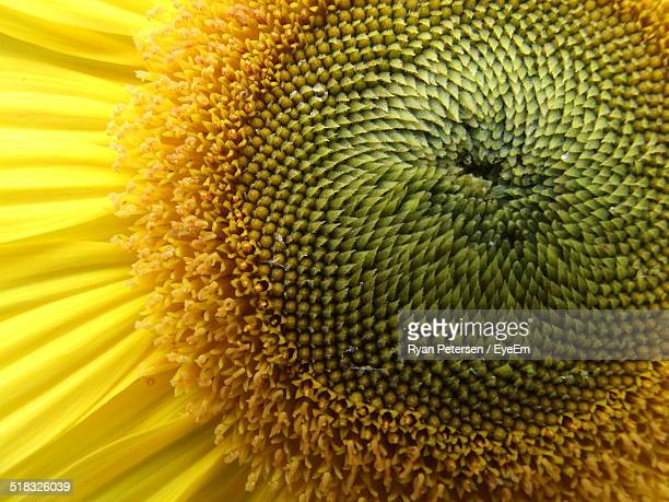 Full Frame Shot Of Sunflower Pollen