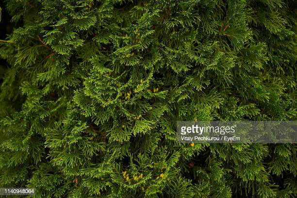 full frame shot of trees growing in forest - coniferous stock pictures, royalty-free photos & images