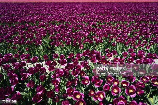 Full Frame Shot Of Tulips Blooming Outdoors
