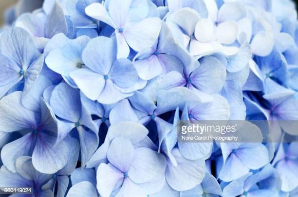 Full Frame Shot of Violet Blue Hydrangea Flowers