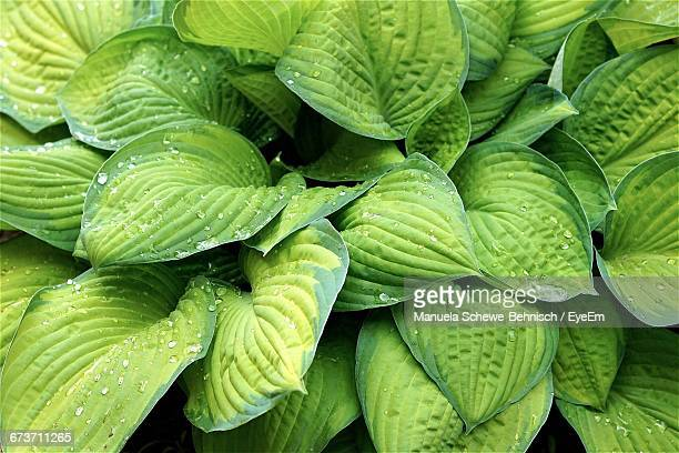 Full Frame Shot Of Wet Hosta Leaves