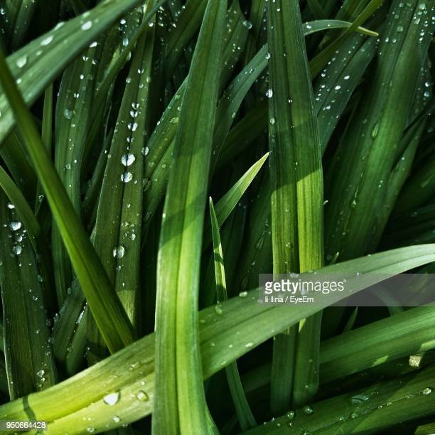full frame shot of wet plants - blade of grass stock pictures, royalty-free photos & images