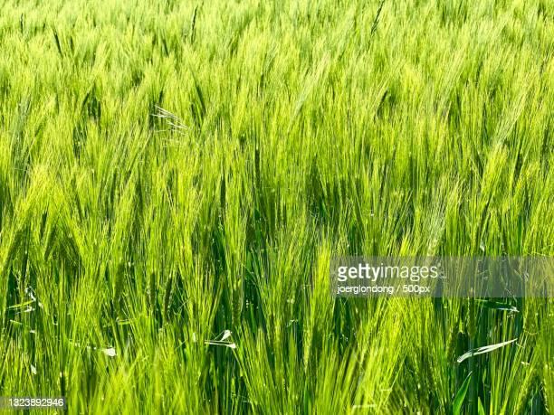 full frame shot of wheat field,umpferstedter weg a,weimar,germany - weg bildbanksfoton och bilder