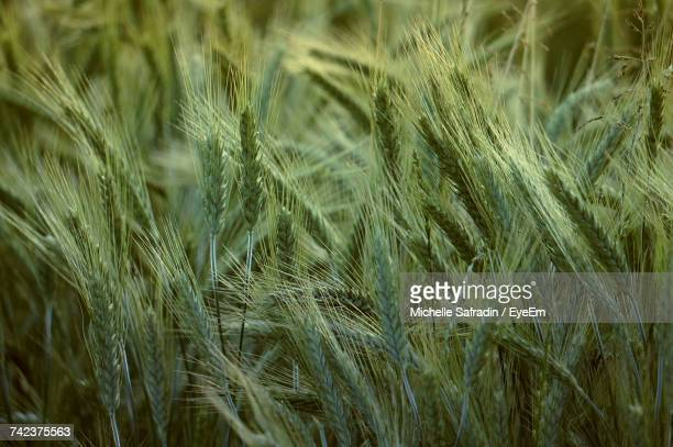 Full Frame Shot Of Wheat Growing On Field