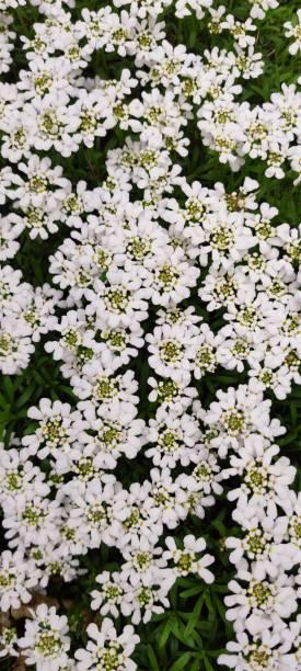 Full frame shot of white flowering plants,Germany