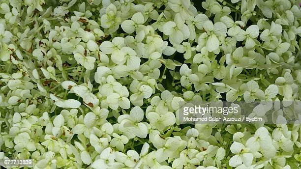 full frame shot of white flowers - salah stock photos and pictures