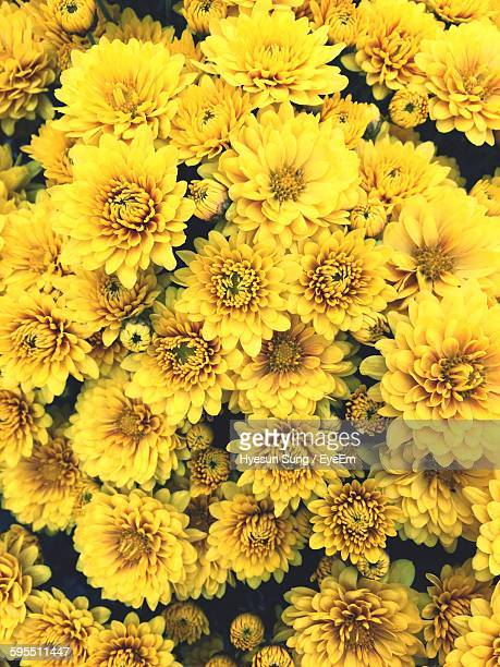 Full Frame Shot Of Yellow Dahlias