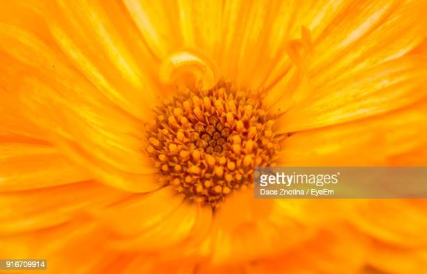 full frame shot of yellow flower - pot marigold stock pictures, royalty-free photos & images